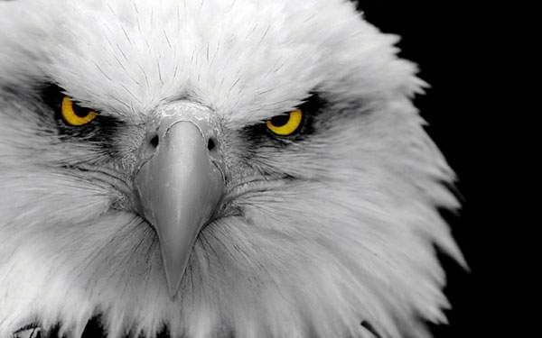 wallpaper-eagles-photo-04[1]